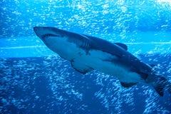 Καρχαρίας φαλαινών Στοκ φωτογραφία με δικαίωμα ελεύθερης χρήσης