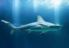 Καρχαρίας φραγμάτων άμμου σε εκβολή ποταμού Στοκ φωτογραφία με δικαίωμα ελεύθερης χρήσης