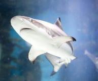 καρχαρίας Στοκ Εικόνες