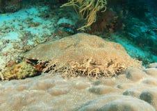 Καρχαρίας Wobbegong Στοκ Φωτογραφίες