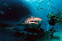 Καρχαρίες λεμονιών Στοκ Φωτογραφίες