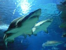 καρχαρίες στοκ εικόνα με δικαίωμα ελεύθερης χρήσης