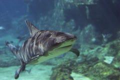 καρχαρίες Στοκ φωτογραφία με δικαίωμα ελεύθερης χρήσης