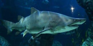καρχαρίες Στοκ εικόνες με δικαίωμα ελεύθερης χρήσης