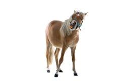 καρότο που τρώει το άλογο Στοκ εικόνες με δικαίωμα ελεύθερης χρήσης