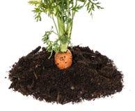 Καρότο στη γη που απομονώνεται στο λευκό Στοκ εικόνα με δικαίωμα ελεύθερης χρήσης
