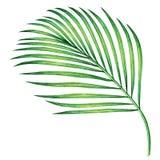Καρύδα ζωγραφικής Watercolor, φύλλο φοινικών, πράσινα φύλλα που απομονώνονται στο άσπρο υπόβαθρο Τροπικό exot απεικόνισης Waterco διανυσματική απεικόνιση