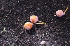 Καρύδια Ginkgo Στοκ φωτογραφίες με δικαίωμα ελεύθερης χρήσης