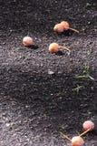 Καρύδια Ginkgo Στοκ Εικόνες