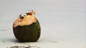 Καρύδα θαλασσίως με το θηλυκό χέρι που βάζει το α απόθεμα βίντεο