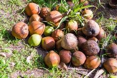 καρύδα ξηρά Κλείστε επάνω το σωρό των καφετιών παλαιών καρύδων με τα ξηρά κοχύλια καρύδων στον κήπο στοκ φωτογραφία με δικαίωμα ελεύθερης χρήσης