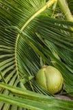 Καρύδα στα φύλλα καρύδων Στοκ εικόνες με δικαίωμα ελεύθερης χρήσης