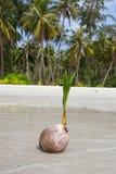Καρύδα στην παραλία, Ταϊλάνδη κλείστε επάνω Στοκ φωτογραφία με δικαίωμα ελεύθερης χρήσης