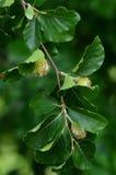 Καρύδια και φύλλα οξιών Στοκ φωτογραφία με δικαίωμα ελεύθερης χρήσης
