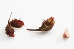 Καρύδια οξιών (Fagus) Στοκ φωτογραφία με δικαίωμα ελεύθερης χρήσης
