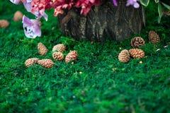 Καρύδια πεύκων Στοκ Φωτογραφία