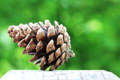 Καρύδια πεύκων Στοκ Εικόνα