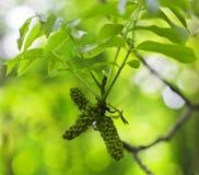 Καρύδι δέντρων Στοκ Εικόνα
