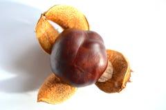 Καρύδι κάστανων στοκ φωτογραφία με δικαίωμα ελεύθερης χρήσης