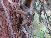 Καρύδι που προστατεύει το σκίουρο Στοκ Εικόνες