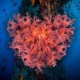 Καρδιά βαλεντίνων φιαγμένη από κοράλλια (hemprichi Dendronephthya) Στοκ φωτογραφία με δικαίωμα ελεύθερης χρήσης