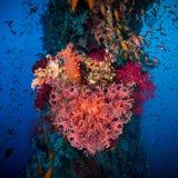 Καρδιά βαλεντίνων φιαγμένη από κοράλλια (hemprichi Dendronephthya) Στοκ Εικόνες