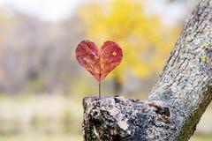 Καρδιά-διαμορφωμένη κόκκινη άδεια φθινοπώρου άνδρας αγάπης φιλιών έννοιας στη γυναίκα στοκ εικόνα