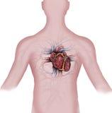 Καρδιά και ανθρώπινο αγγειακό σύστημα Στοκ φωτογραφίες με δικαίωμα ελεύθερης χρήσης