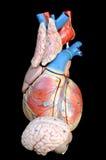 Καρδιά και εγκέφαλος στοκ φωτογραφία με δικαίωμα ελεύθερης χρήσης