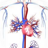 Καρδιά με τις φλέβες και τις αρτηρίες Στοκ εικόνα με δικαίωμα ελεύθερης χρήσης