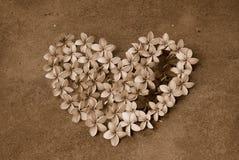 Καρδιά λουλουδιών Frangipani στη σέπια στοκ φωτογραφία με δικαίωμα ελεύθερης χρήσης