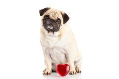 Καρδιά σκυλιών pugdog und που απομονώνεται στο άσπρο υπόβαθρο Στοκ Φωτογραφία