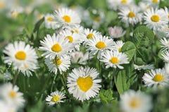 Καρδιά στο λουλούδι μαργαριτών Στοκ Εικόνες