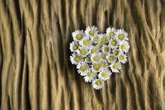 Καρδιά της Daisy Στοκ Εικόνες