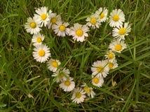 Καρδιά της Daisy Στοκ Φωτογραφία