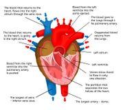 Καρδιά του σώματος από την άποψη της δομής ζωτικότητας σε μια άσπρη διανυσματική απεικόνιση υποβάθρου Στοκ Εικόνα
