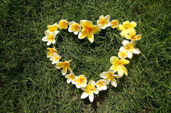 Καρδιά των λουλουδιών frangipani στοκ εικόνα με δικαίωμα ελεύθερης χρήσης