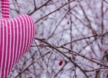 Καρδιά υπό μορφή μαξιλαριών σε ένα υπόβαθρο ενός θάμνου με τα αγκάθια στον παγετό Στοκ Φωτογραφία
