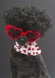Καρδιές και Afro Poodle Στοκ φωτογραφίες με δικαίωμα ελεύθερης χρήσης