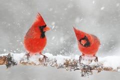 Καρδινάλιοι στο χιόνι στοκ εικόνες