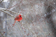 Καρδινάλιος που σκαρφαλώνει στον κλάδο στο χιόνι Στοκ Εικόνες