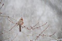 Καρδινάλιος που σκαρφαλώνει στον κλάδο στο χιόνι Στοκ φωτογραφία με δικαίωμα ελεύθερης χρήσης