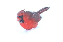 Καρδινάλιος στο χιόνι Στοκ φωτογραφίες με δικαίωμα ελεύθερης χρήσης