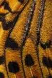Καρδινάλιος, σχέδιο φτερών πεταλούδων Argynnis pandora Στοκ Φωτογραφία
