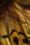 Καρδινάλιος, σχέδιο φτερών πεταλούδων Argynnis pandora Στοκ Εικόνες