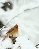 Καρδινάλιος χιονιού Στοκ φωτογραφία με δικαίωμα ελεύθερης χρήσης