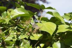 Καρδινάλιος, Argynnis pandora Στοκ Εικόνα