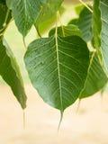 Καρδιοειδή φύλλα Στοκ εικόνα με δικαίωμα ελεύθερης χρήσης