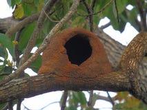 Καστανοκοκκινωπή φωλιά Hornero Στοκ Φωτογραφίες