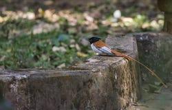 Καστανοκοκκινωπός ινδικός παράδεισος flycatcher ή Terpsiphone morph paradisi στοκ εικόνα με δικαίωμα ελεύθερης χρήσης